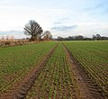 View across winter crop - geograph.org.uk - 1070449.jpg