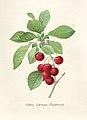 Vintage Flower illustration by Pierre-Joseph Redouté, digitally enhanced by rawpixel 15.jpg
