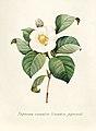 Vintage Flower illustration by Pierre-Joseph Redouté, digitally enhanced by rawpixel 96.jpg