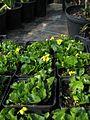 Viola glabella - Flickr - peganum (1).jpg