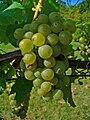 Vitis vinifera 003.JPG