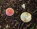 Vliegenzwammen (Amanita muscaria) (d.j.b.) 01.jpg