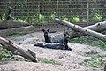 Vulpes vulpes (melanistic) in Dierenpark Zie-ZOO.jpg