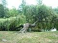 Włocławek-unusual weeping willow in Park.jpg