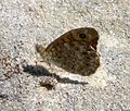 Wall brown. u-s. Lasiommata megera - Flickr - gailhampshire.jpg