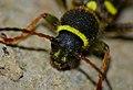 Wasp Beetle (Clytus arietis) close-up (9207099371).jpg