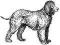 Water Spaniel - Dog (PSF).png