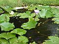 Water lilies-67.JPG