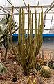 Weberbauerocereus winterianus, Christchurch Botanic Gardens, Canterbury, New Zealand 13.jpg
