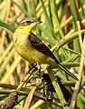 Western Yellow Wagtail Motacilla flava by Dr. Raju Kasambe DSCN3145 (8).jpg
