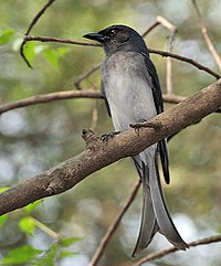 White-bellied Drongo (Dicrurus caerulescens) at Sindhrot near Vadodara, Gujrat Pix 078.jpg