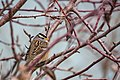 White-crowned sparrow (31652615416).jpg