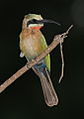 White-fronted Bee-eater, Merops bullockoides - experiments with light and shadow (13985925154).jpg
