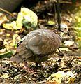 White-throatedQuail-Dove.jpg
