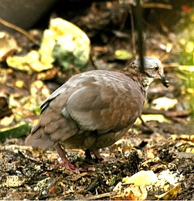 White-throatedQuail-Dove.jpg