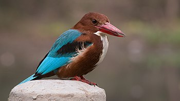 White-throated Kingfisher in Ludhiana district, Punjab 03.jpg