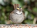 White-throated sparrow in Prospect Park (70914).jpg