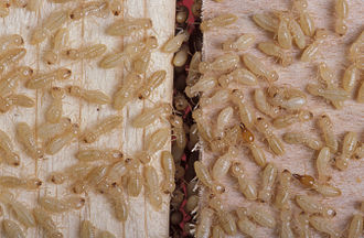 Pest (organism) - Pests often occur in high densities, making the damage they do even more detrimental. Termite