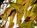 White Ash - Flickr - treegrow.jpg