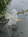 White China Rose.jpg