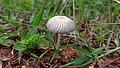 White Colour Mushroom.jpg