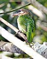 White cheeked barbet ( Megalaima viridis) - Flickr - Lip Kee.jpg
