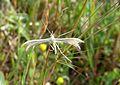 White plume Pterophorus pentadactyla.. - Flickr - gailhampshire.jpg