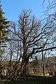 Wien-Penzing - Naturdenkmal 8 - Stieleiche (Quercus robur).jpg