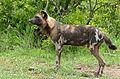 Wild Dog (Lycaon pictus) male (16395683779).jpg