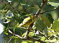 Wilson's Warbler. Wilsonia pusilla - Flickr - gailhampshire.jpg