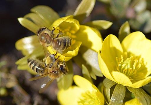 Winterlinge mit bienen lebenswertes chemnitz