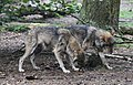 Wolf Canis lupus Wildpark Poing-07.jpg