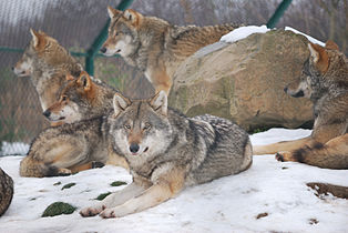 Wolf dierenrijk 2009.JPG