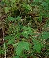 Woliński Park Narodowy ścieżka przyrodnicza Paprocie kuklik zwisły 2016-08-27 p2.jpg