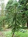 Wollemia nobilis (2).jpg