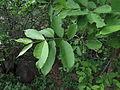 Wrightia Tinctoria leaf 012.JPG