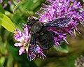 Xylocopa January 2008-3.jpg