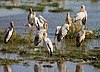 Yellow-billed Storks, Lake Manyara