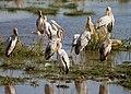 Yellow-billed Storks, Lake Manyara.jpg