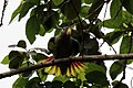 Yellow-billed amazon parrot (Amazona collaria).jpg