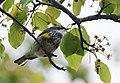 Yellow-rumped Warbler (33640863896).jpg