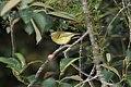 Yellow-winged Vireo (Vireo carmioli) (5772476424).jpg
