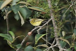 Yellow-winged Vireo (Vireo carmioli) (5772476424).jpg
