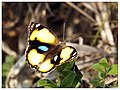 Yellow Pansy Male (16723546696).jpg