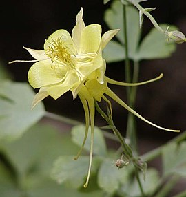 Yellow columbine close.jpg