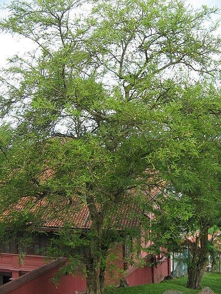 Pokok Melaka