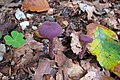 Young Laccaria amethystea (Rodekoolzwam) at Rozendaal castle park - panoramio.jpg
