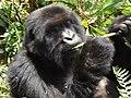 Young Mountain Gorilla Eating.jpg