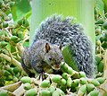 Yucatan gray squirrel.jpg