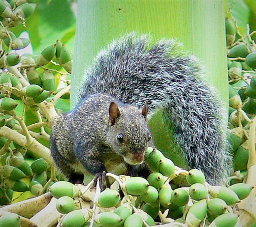 Yucatan gray squirrel